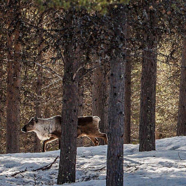 Pic of the day #raisfoto #esrange #esrangespacecenter #sweden #reindeer #forrest #nature #beautiful